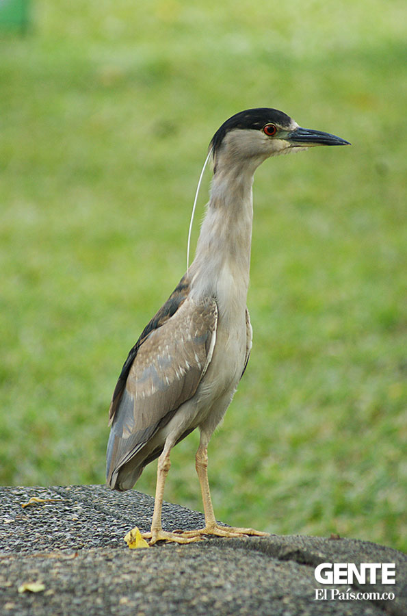 'Nycticorax'